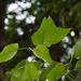 Λεύκα - Photo (c) psweet, μερικά δικαιώματα διατηρούνται (CC BY-SA)