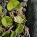 Dichondra brevifolia - Photo (c) mattward, algunos derechos reservados (CC BY-NC)