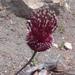 Allium amethystinum - Photo (c) saba, algunos derechos reservados (CC BY-NC-SA)