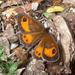 Pyronia bathseba - Photo (c) gailhampshire,  זכויות יוצרים חלקיות (CC BY)