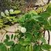 Leucaena macrophylla - Photo (c) Carlos Domínguez-Rodríguez,  זכויות יוצרים חלקיות (CC BY-NC)