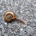Quimper Snail - Photo (c) nachoperez, some rights reserved (CC BY-NC)