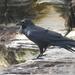 Australian Raven - Photo (c) Tan Kok Hui, some rights reserved (CC BY-NC)