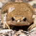 North American Narrow-mouthed Toads - Photo (c) Ken-ichi Ueda, some rights reserved (CC BY)