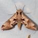 Eumorpha achemon - Photo (c) Ken-ichi Ueda, algunos derechos reservados (CC BY)