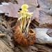 Mycena crocea - Photo (c) TroutFly,  זכויות יוצרים חלקיות (CC BY-NC)