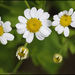 Feverfew - Photo (c) Steve Chilton, some rights reserved (CC BY-NC-ND)