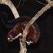 Petaurista yunanensis - Photo (c) Lee E. Harding, μερικά δικαιώματα διατηρούνται (CC BY-NC)