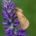 Triodia sylvina - Photo (c) nutmeg66, algunos derechos reservados (CC BY-NC-ND)