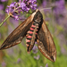 Sphinx ligustri - Photo (c) nutmeg66, μερικά δικαιώματα διατηρούνται (CC BY-NC-ND)