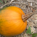 American Pumpkin - Photo (c) psullivan22, some rights reserved (CC BY-NC)