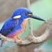 Azure Kingfisher - Photo (c) Tan Kok Hui, some rights reserved (CC BY-NC)