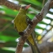 Green Oriole - Photo (c) Tan Kok Hui, some rights reserved (CC BY-NC)