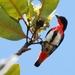 Mistletoebird - Photo (c) Tan Kok Hui, some rights reserved (CC BY-NC)