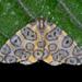 Leopard Moths - Photo (c) Luísa Mota, some rights reserved (CC BY-NC-SA)