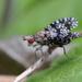 Trypetoptera punctulata - Photo (c) Nicolas Zwahlen, algunos derechos reservados (CC BY-NC-SA)