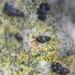 Tryonia quitobaquitae - Photo (c) Tony Palmer, μερικά δικαιώματα διατηρούνται (CC BY-NC)