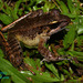 Javan Torrent Frog - Photo (c) myfier, some rights reserved (CC BY), uploaded by Firman