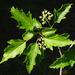 Amur Maple - Photo Wouter Hagens, no known copyright restrictions (public domain)