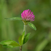 Red Clover - Photo (c) Susan Elliott, some rights reserved (CC BY-NC)