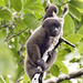 Monos Lanudos - Photo (c) Bill Bouton, algunos derechos reservados (CC BY-SA)
