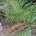 Ladder Fern - Photo (c) lxy2020, some rights reserved (CC BY-NC)