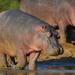Hipopótamo - Photo (c) David Renoult, algunos derechos reservados (CC BY-NC)