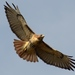 Red-tailed Hawk - Photo (c) D.Fletcher, some rights reserved (CC BY-ND)