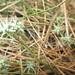 Eryngium aristulatum parishii - Photo (c) Sonja Braden, algunos derechos reservados (CC BY-NC)