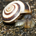 Vineyard Snail - Photo (c) Cathy Powers, some rights reserved (CC BY-NC)