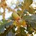 Quercus garryana - Photo (c) Jeanne Wirka, algunos derechos reservados (CC BY)