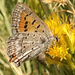 Lycaena arota - Photo (c) Liam O'Brien,  זכויות יוצרים חלקיות (CC BY-NC)