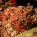 Scorpaena plumieri - Photo (c) LASZLO ILYES, osa oikeuksista pidätetään (CC BY)