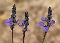 Blue Spike Milkwort
