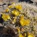 Maihueniopsis glomerata - Photo (c) Quentin Vandemoortele, algunos derechos reservados (CC BY-NC)