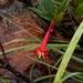 Augusta longifolia - Photo (c) Guilherme A. Fischer, algunos derechos reservados (CC BY-NC)