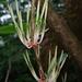 Helicanthes elasticus - Photo (c) mayuresh kulkarni,  זכויות יוצרים חלקיות (CC BY-NC)