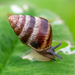 Small Pointed Snail - Photo (c) lizard--o_o, some rights reserved (CC BY-NC)