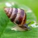 חרוטית הגינה - Photo (c) lizard--o_o,  זכויות יוצרים חלקיות (CC BY-NC)