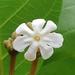 Guettarda speciosa - Photo (c) John Howes, μερικά δικαιώματα διατηρούνται (CC BY-NC)