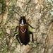 Parcoblatta pennsylvanica - Photo (c) mothvet, μερικά δικαιώματα διατηρούνται (CC BY-NC)