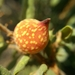 Burnettweldia plumbella - Photo (c) clem, algunos derechos reservados (CC BY-NC)