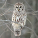 Barred Owl - Photo (c) anonymous, some rights reserved (CC BY-SA)
