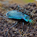 Blue Ground Beetle - Photo (c) Bernard DUPONT, some rights reserved (CC BY-NC-SA)