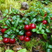 Mountain Cranberry - Photo (c) Sean Blaney, some rights reserved (CC BY-NC)
