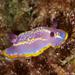 Nudibrânquio-Púrpura-de-Krohn - Photo (c) whodden, alguns direitos reservados (CC BY-NC)