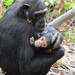 Chimpanzees - Photo (c) Ad Konings, some rights reserved (CC BY-NC)
