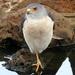 Accipiter badius - Photo (c) thbecker,  זכויות יוצרים חלקיות (CC BY-NC-SA)