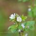 Malva verticillata crispa - Photo (c) 曾云保, algunos derechos reservados (CC BY-NC)