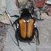 Campsiura mirabilis - Photo (c) Nan Yang,  זכויות יוצרים חלקיות (CC BY-NC)